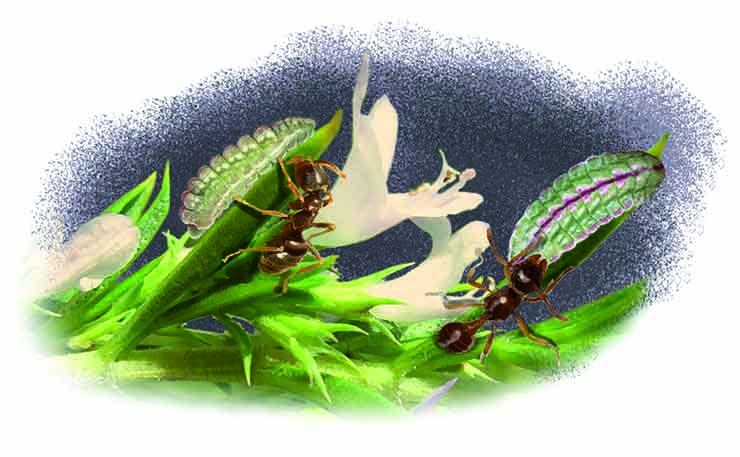 Bruchi colli euganei - Colorazione dei bruchi ...