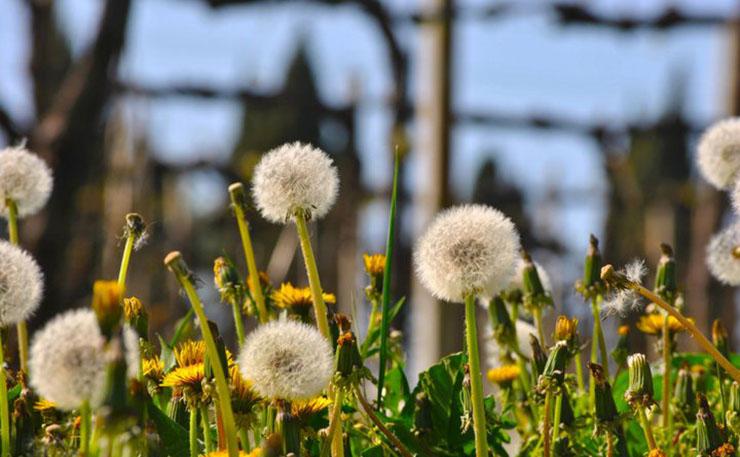 Taraxacum Officinale o meglio… Pissacani