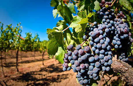 L'uva dei Colli Euganei