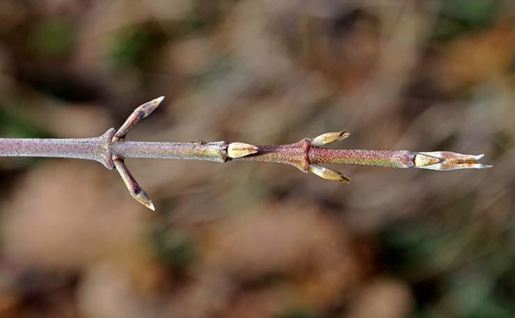 Come Riconoscere gli Alberi d'Inverno