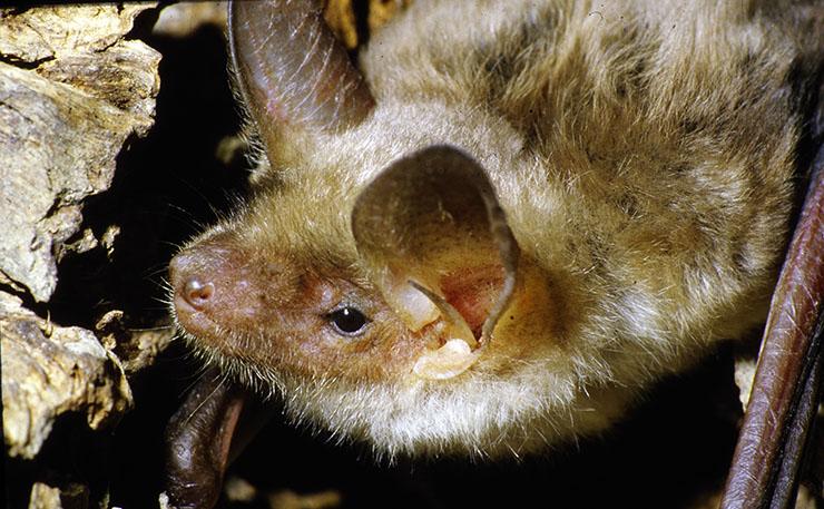 Pipistrelli il Silenzioso Popolo della Notte